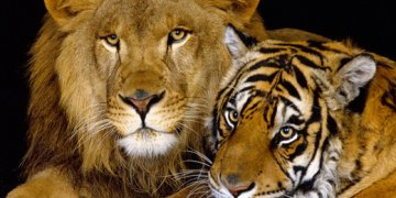 Animals Lion 1 Twitter Cover Mo22 غلافات تويتر