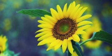Sunflower غلافات تويتر